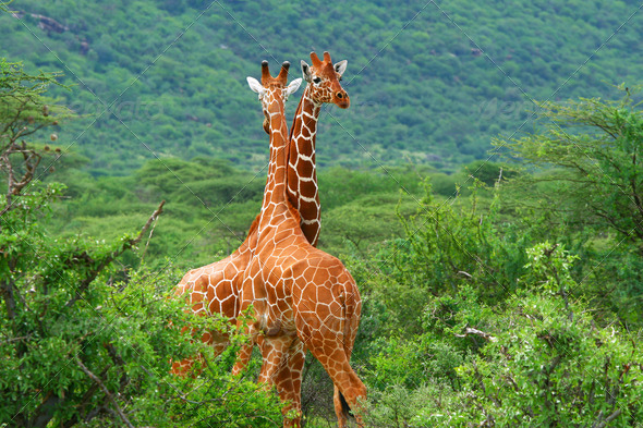 Fight of two giraffes - Stock Photo - Images