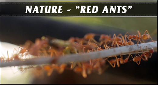 Nature - Red Ants