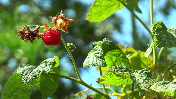 Raspberry Hangs on the Branch