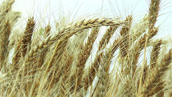 In the Field Ripe Ears of Barley