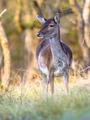 Female Fallow deer