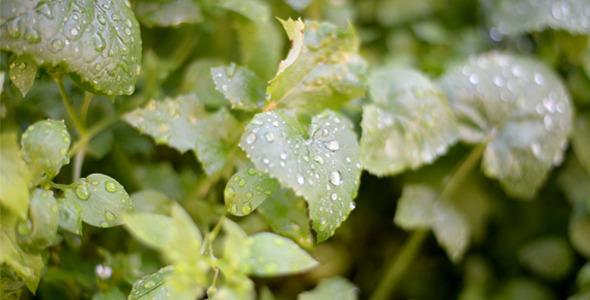 Plant Leaves With Fresh Rain Drops