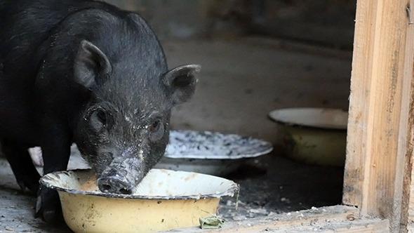 Vietnam Black Little Pig Eating