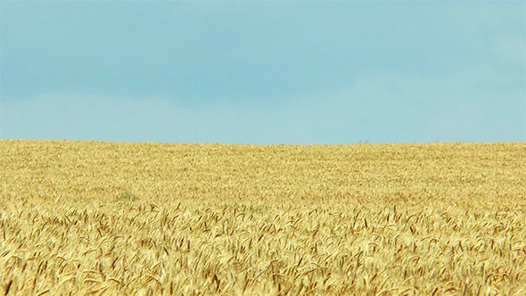 Yellow Wheat Field and Blue Sky