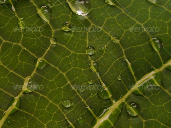 2 Caladium Leafs - Nature Textures