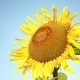 Sunflower On A Background Of Blue Sky - VideoHive Item for Sale