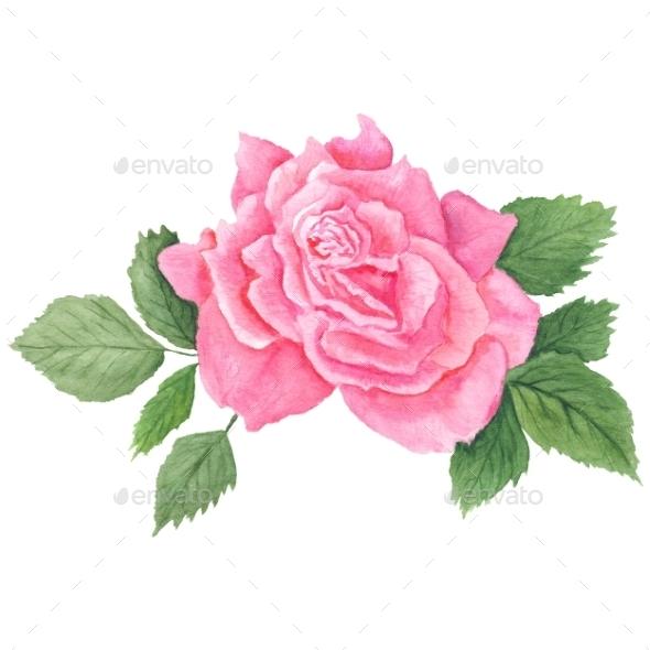 Pink Rose Botanical Illustration - Flourishes / Swirls Decorative