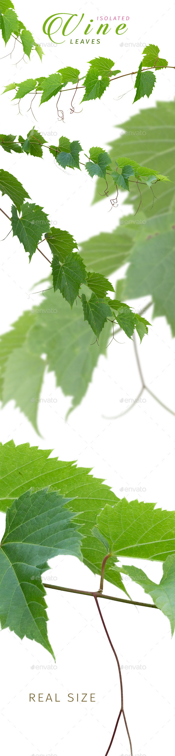 Isolated Vine Leaves - Nature & Animals Isolated Objects
