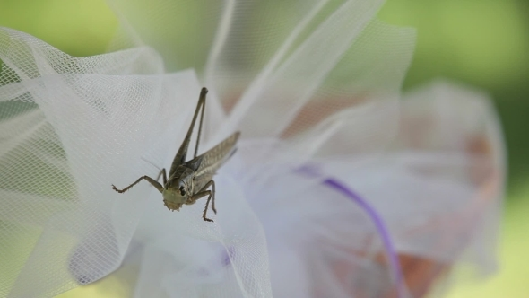 Locust On Flower