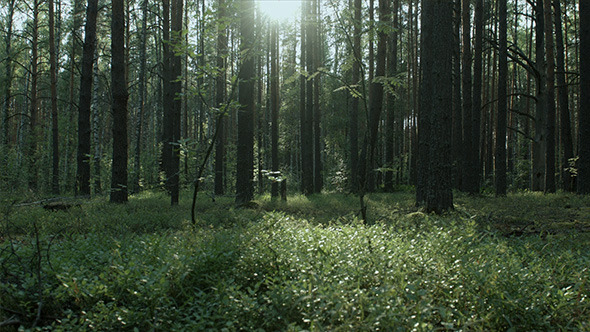 Deep Forest with Grass and Sun