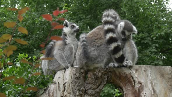 Group of Lemurs on The Stamp Embracing with Tails