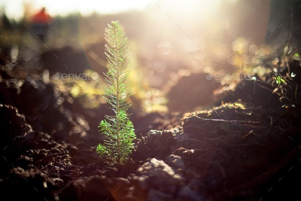 Planted pine tree - Stock Photo - Images