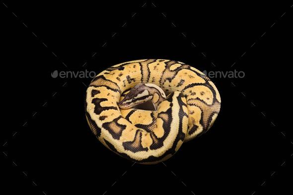 Female Ball Python. Firefly Morph or Mutation - Stock Photo - Images