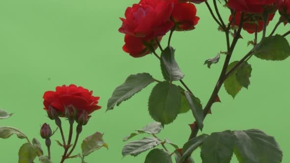 Red rose bush red flowers on branches thorns by zmei116 videohive play preview video mightylinksfo