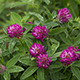 Bush of Blooming Red Clover After the Rain - VideoHive Item for Sale