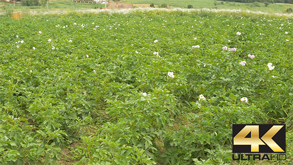 Potato Flower Culture