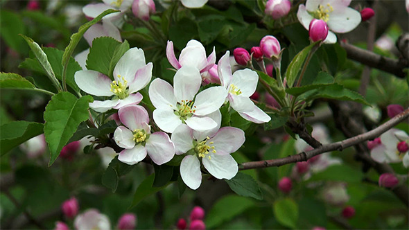 Blossoming Apple