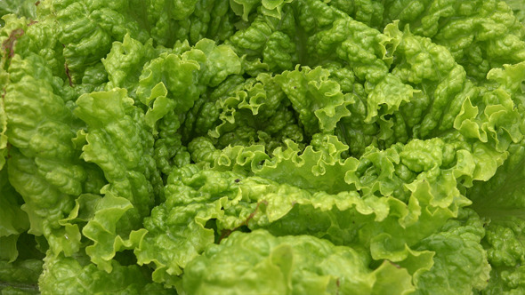Lettuce or Salad Leaves 2