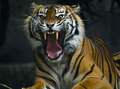 Growling Tiger - PhotoDune Item for Sale