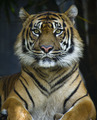 Proud Sumatran Tiger - PhotoDune Item for Sale