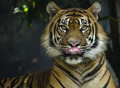 Tiger licking lips while looking at the lens - PhotoDune Item for Sale