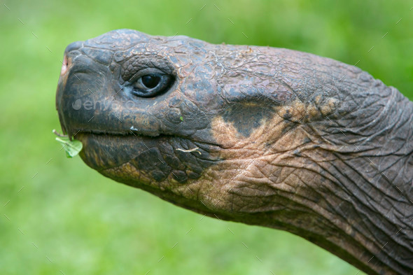 Giant Galapagos land turtle - Stock Photo - Images