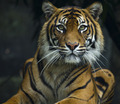Tiger lying down looking at lens - PhotoDune Item for Sale