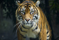 Prowling tiger looking down lens - PhotoDune Item for Sale