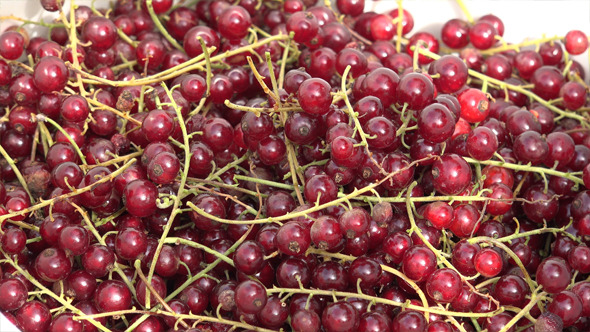Red Currant 1