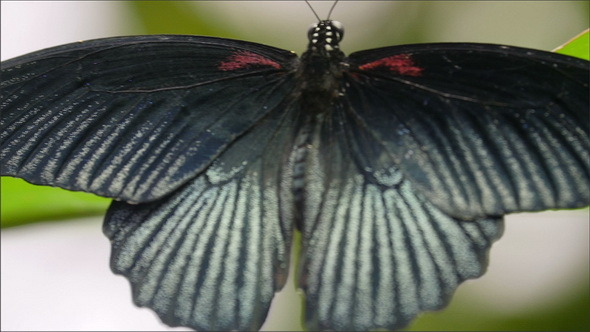 A Black Back Wings of a Butterfly