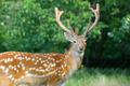 Whitetail Deer standing in summer wood - PhotoDune Item for Sale
