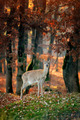 Whitetail Deer standing in autumn day - PhotoDune Item for Sale