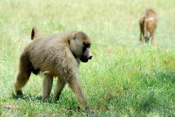 Olive baboon in Masai Mara National Park of Kenya - Stock Photo - Images