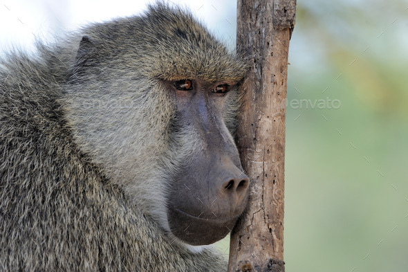 Olive baboon in Masai Mara National Park of Kenya - Stock Photo - Images
