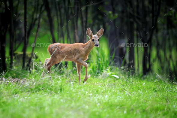 Young deer in summer forest - Stock Photo - Images