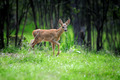 Young deer in summer forest - PhotoDune Item for Sale