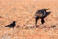 Australian Wedge-tail Eagle Eating a Kangaroo - PhotoDune Item for Sale