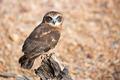 Barking Owl - PhotoDune Item for Sale