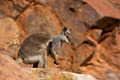 Australian Rock Wallaby - PhotoDune Item for Sale