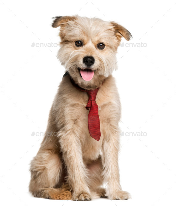 Pyrenean Shepherd wearing a tie (3 years old) - Stock Photo - Images