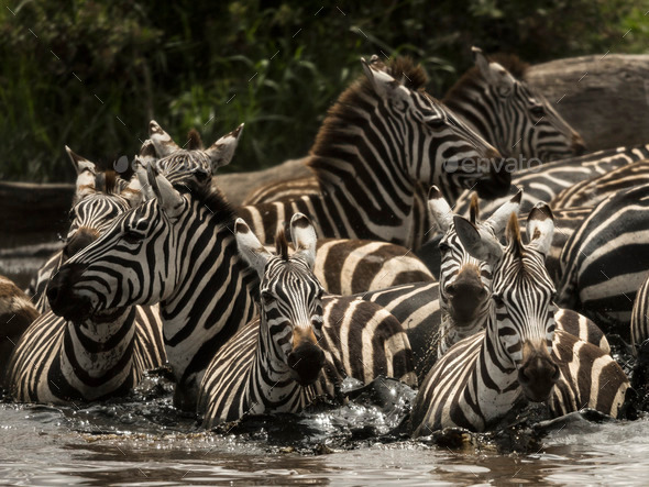 Zebras walking in a river, Serengeti, Tanzania, Africa - Stock Photo - Images