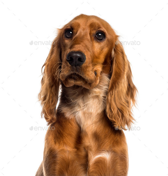 Headshot of a English Cocker Spaniel (7 months old) - Stock Photo - Images