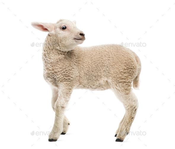 Lamb (8 weeks old) isolated on white - Stock Photo - Images