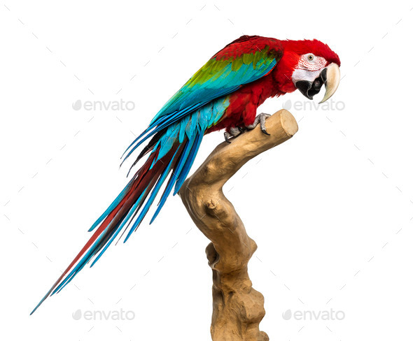 Red-and-green macaw perched on a branch, isolated on white - Stock Photo - Images