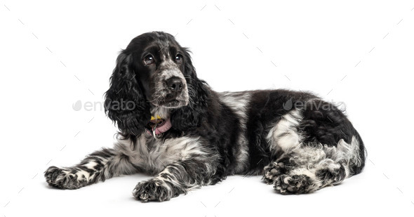english cocker spaniel puppy (4 months old) - Stock Photo - Images