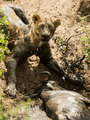 Dirty lioness lying next to its prey, Serengeti, Tanzania, Africa