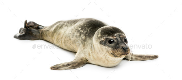 Common seal pup, isolated on white - Stock Photo - Images