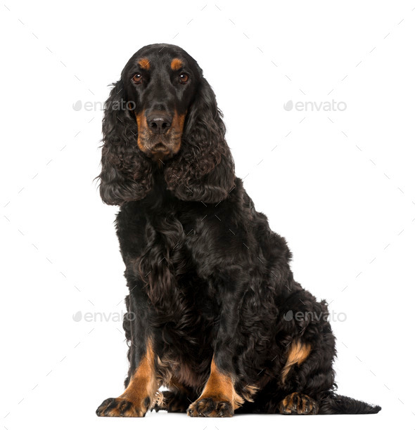 English Cocker Spaniel (4 years old) - Stock Photo - Images