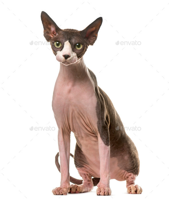 Sphynx sitting in front of a white background - Stock Photo - Images