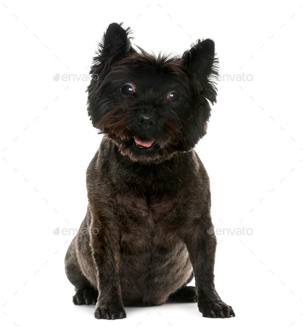 Old blind Cairn Terrier (12 years old) in front of a white background - Stock Photo - Images